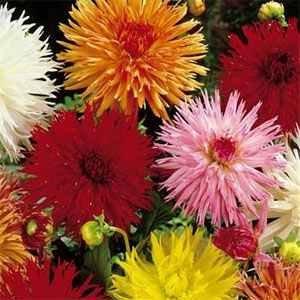 Outsidepride Dahlia Cactus Mix - 500 Seeds