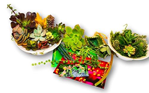 Fat Plants San Diego Twenty Five Small Succulent Cuttings