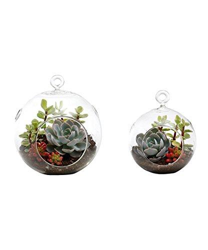 Succulent Terrarium Duo Medium Globe and Small Globe Echeveria Jelly Bean Variegated Elephant Bush