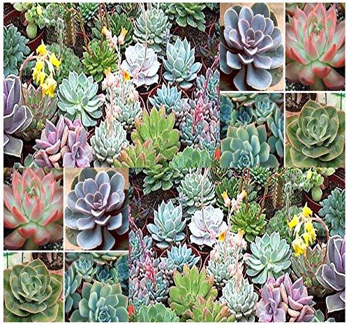 20 x DESERT ROSE ECHEVERIA SPECIES MIX - Excellent Indoor House Plants - CACTUS SUCCULENTS SEEDS - By MySeedsCo