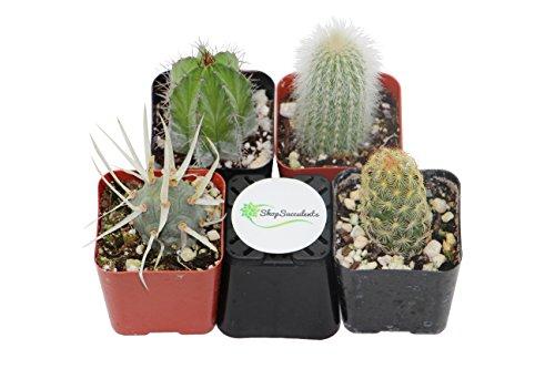 Shop Succulents Cactus 4 Pack NA