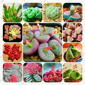 Bonsai flowers indoor fleshier plant lithops stone flowers seeds succulent seed bonsai cactus plant - 200 pcs seeds