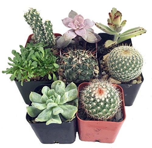 Instant Cactussucculent Collection - 8 Plants 2&quot Pots