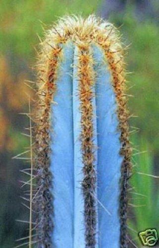 Pilosocereus purpureus EXOTIC BLUE COLOR aloe rare cacti cactus seed 100 SEEDS