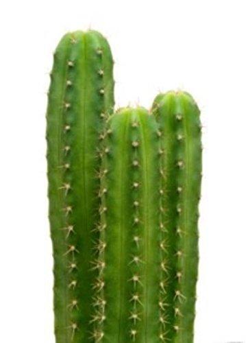 100 San Pedro Cactus Seeds Trichocereus Pachanoi Ceremonial Decorative Plant