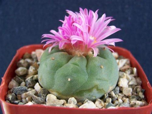 Matucana sp pink flower fricii button cactus exotic rare cacti seed 10 SEEDS