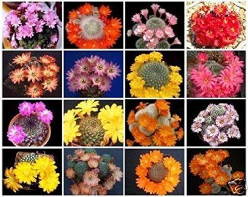 Rebutia Variety Mix Exotic Flowering Color Cacti Rare Cactus Aloe Seed 50 Seeds