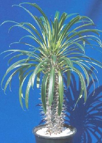 Tropica - Madagascar-palm pachypodium Lamerei - 10 Seeds - Cacti  Succulents