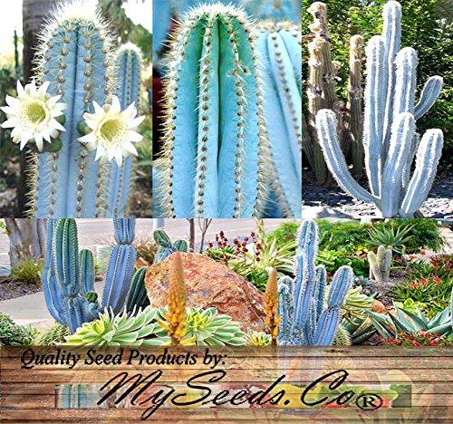 ~ BULK ~ Pilosocereus BLUE RARE Cactus Mix - CACTUS Seeds GORGEOUS BLUE - COLLECTOR DREAM Perfect For Greenhouse Or As House Plants 0030 Seeds - 30 Seeds