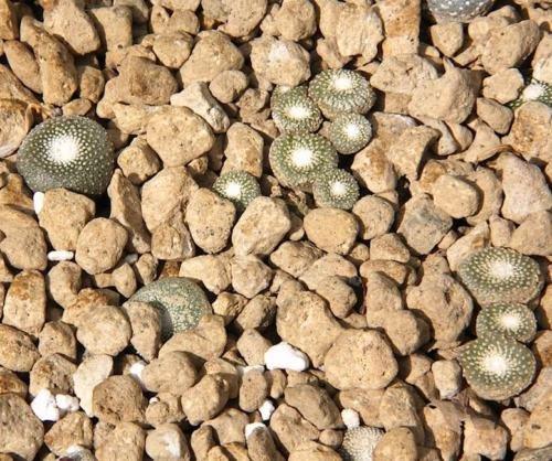 Blossfeldia Liliputana - 15 Seeds - Unusual Succulent Cacti
