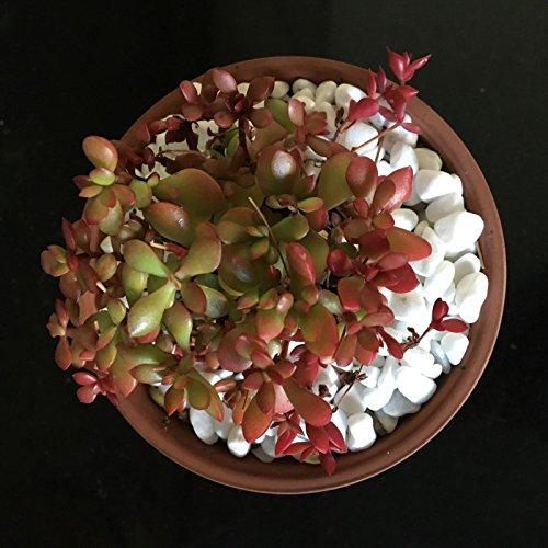 Crassula pubescens ssp radicans RARE Unusual Succulent Plant 3 In Ariocarpus