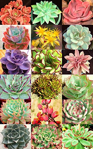 Echeveria Variety Mix  Rare Plant Exotic Succulent Seed Flowering Pot 20 Seeds