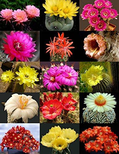 Flowering Cactus Mix  Rare Garden Cacti Exotic Desert Succulent Seed 50 Seeds