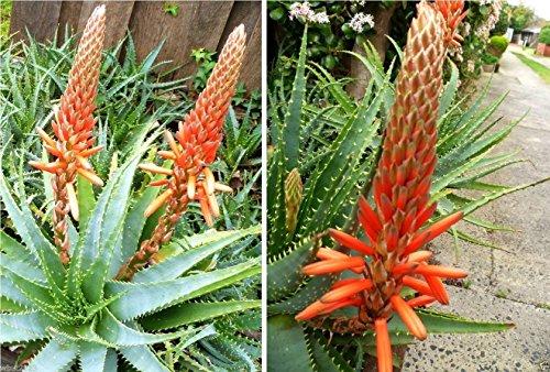 100 Seeds - TREE ALOE Seeds Aloe arborescens Flowering Succulent- PERENNIAL MEDICINE PLANT