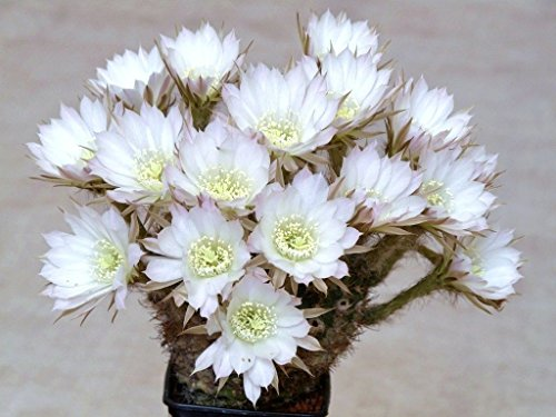 Echinopsis ancistrophora cactus plant flowering succulent cacti seed 100 seeds
