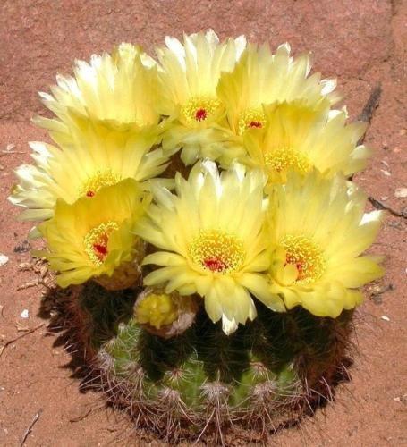 Notocactus concinnus rare parodia cactus flowering succulent cacti seed 50 seeds