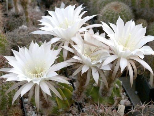Pseudo-echinopsis SUPER WHITE cactus plant flowering succulent seed -15 seeds