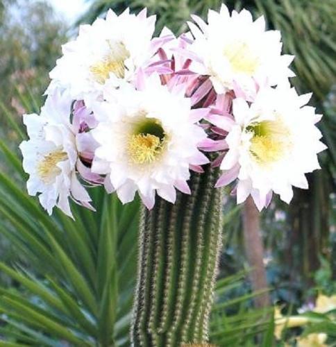 Trichocereus Spachianus rare echinopsis plant flowering succulent seed 15 seeds