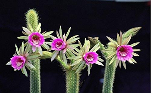 Arthrocereus Rondonianus  Amazing Flowers  Snake Succulent  Rare  10 Seeds