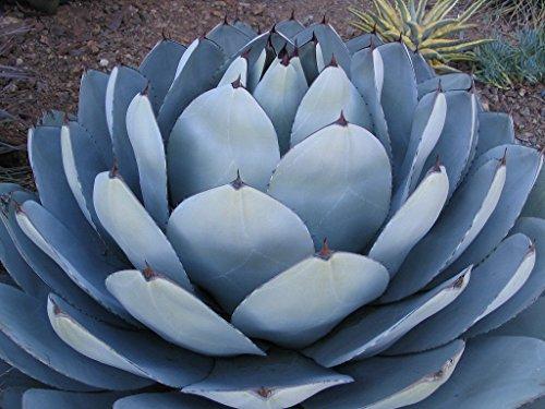 Heirloom Agave Parryi Truncata Rare Succulent Artichoke Plant Exotic Garden Seed 50 Seeds