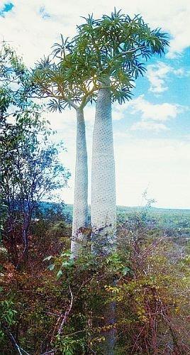Pachypodium Geayi  Madagascar Palm Rare Succulents Caudex Cacti Seed 10 Seeds