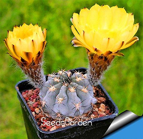 Big Sale10 pcslot Ball cactus seeds rare succulent plant seeds Bonsai Celestial Flower pot planters FloresMY8ZLU