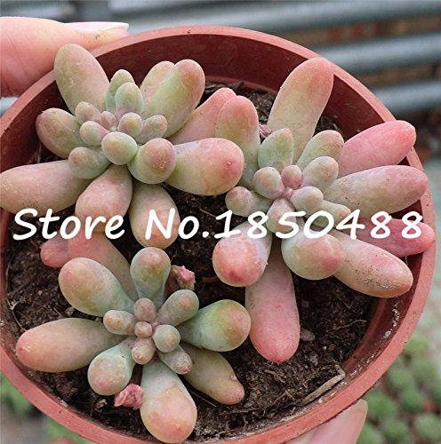 Bonsai flowers indoor fleshier plant health and Succulent plants seeds - 100 pcs seeds