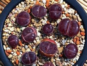 Promotion 20pcs Wholesale 100 authentic Mix Lithops seeds Succulent Plants seed rare plants Bonsai organic seeds