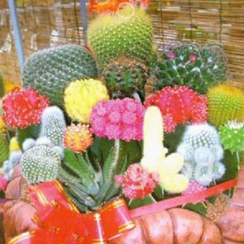 10 Mixture Of Cactus Cactaceae Color Succulents Garden Plant SEED