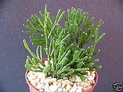 Hatiora Salicornioides Rare Succulent Plant Cactus 4&quot Pot