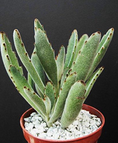 Kalanchoe Tomentosa panda ears velvet rare succulent plant cactus cacti 4 pot