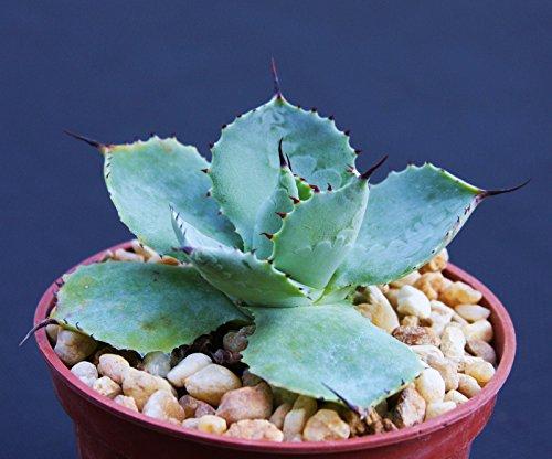 Agave Potatorum Exotic Rare Garden Succulent Air Plant Cactus Bonsai 4&quot Pot