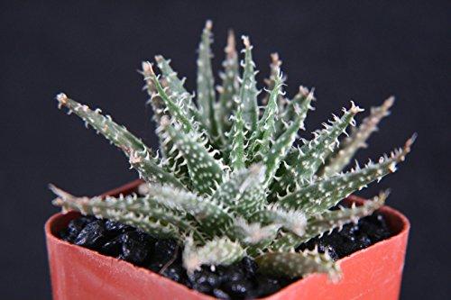 Aloe Haworthioides Exotic Rare Succulent Plant Cacti Cactus Bonsai Outdoor Agave 2&quot Pot Size