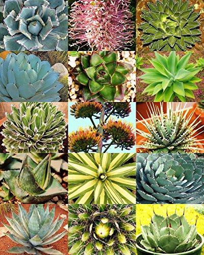 AGAVE variety MIX rare plant exotic garden desert succulent landscape 100 seeds