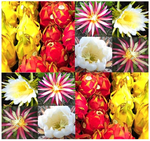 10 Moonlight Cactus Seed Seeds - Queen Of The Night - Selenicereus Mix - Dragon Fruit - Pitaya Seeds