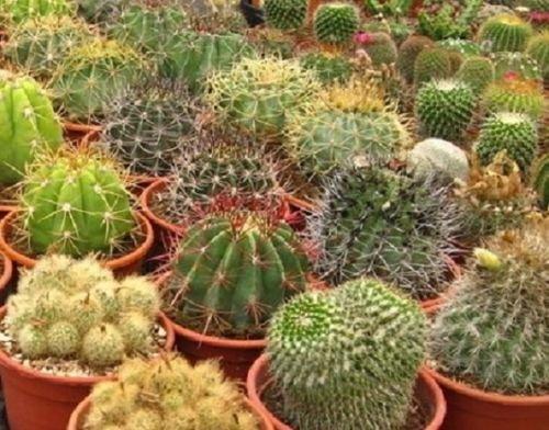 Cactus Seeds Mix Seeds Cacti 100 Seeds