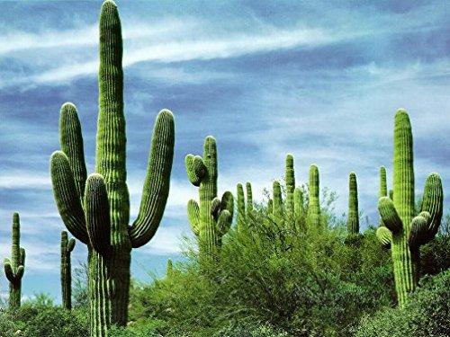 10 Giant Saguaro Cactus Seeds carnegiea Gigantea  Classic Southwestern Cacti