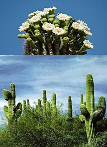10 PC Saguaro Cactus Seeds -Giant Desert Plant-M