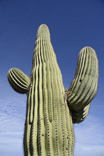 25 GIANT SAGUARO Cactus Seeds ~ 38mg Pack Carnegia gigantea Southwest cacti