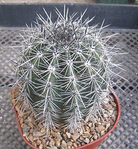 5000 Seeds Carnegia Gigantea saguaro