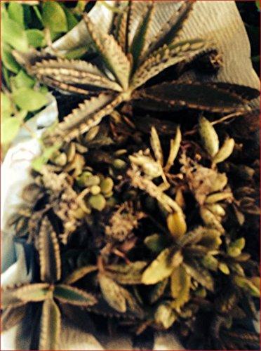1-mother Of A Thousands kalanchoe Mexican Hat Plant Cactus Succulents Houseplant