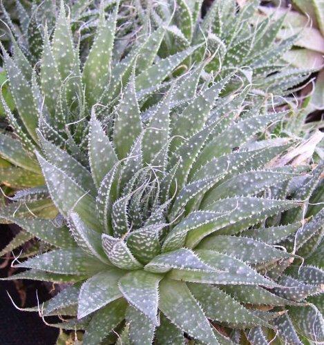 Spider Aloe - A Aristata - Succulent Cactus Houseplant - 35&quot Pot