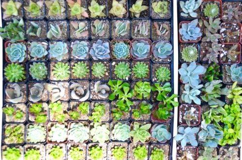 128 Succulent Variety Pack - 20 Pot