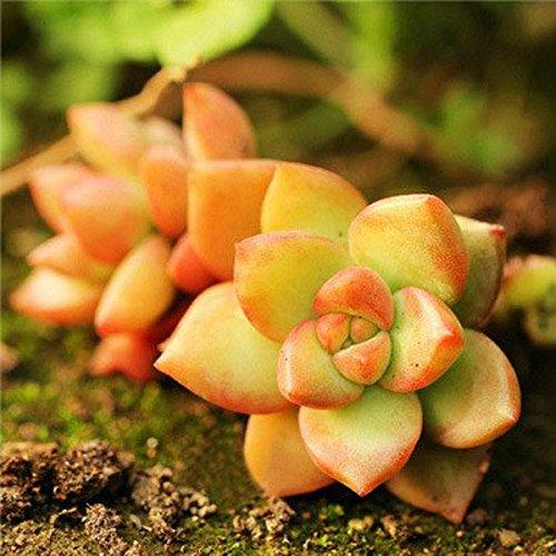 Saver 40pcs Sedum Adolphii Seeds Succulent Plants Desktop Potting