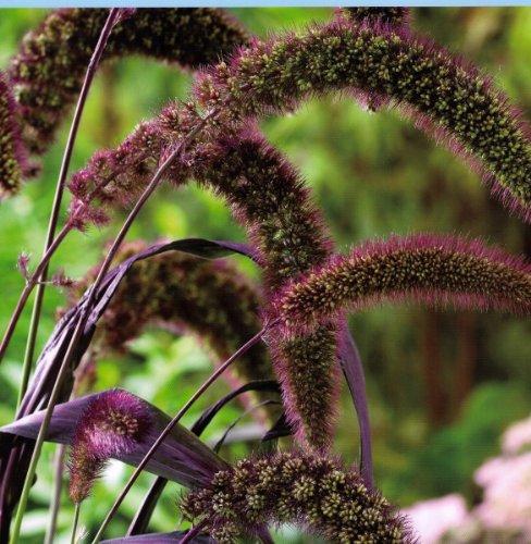 25 Red Jewel Millet Setaria Italica Ornamental Grass Flower Seeds comb Sh