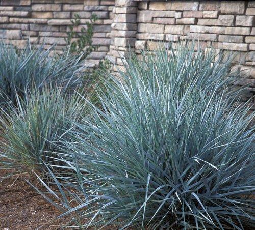 Powder Blue Ornamental GRASS Festuca Ovina Glauca  30-Perennial Ground Cover Seeds
