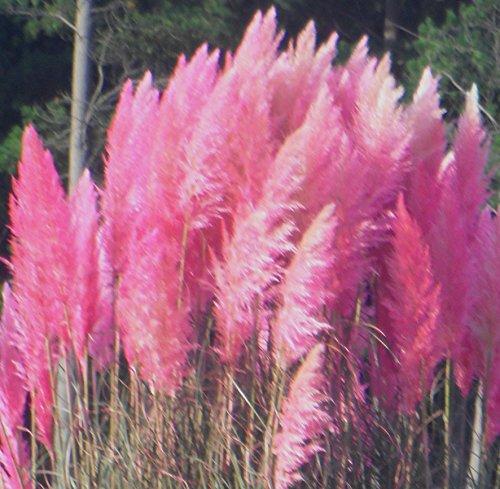 Spectacular Pink Pampas Ornamental Grass Seeds