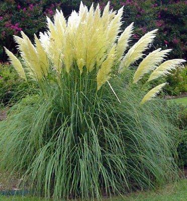 50 Ornamental Perennial Grass Seeds - Pampas Grass -quotwhite&quot Tall Plumes