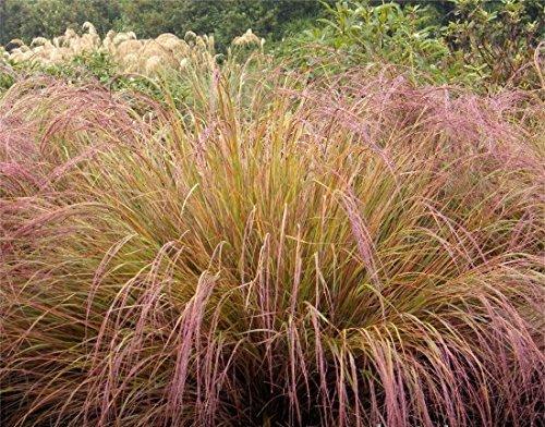 50 Stipa Pheasant Tail Ornamental Grass  Drought Tolerant Perennial