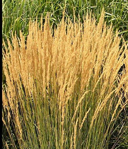 Seedsbulbsplants&ampmore Calamagrostis Karl Foerster Perennial Ornamental Grass Plant